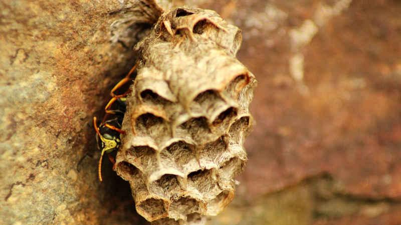 Cosa fare se troviamo un nido di vespe