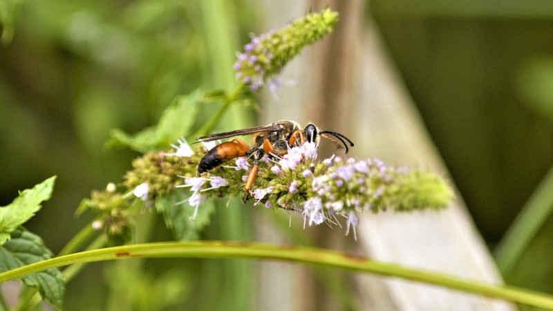 Tipi di vespe
